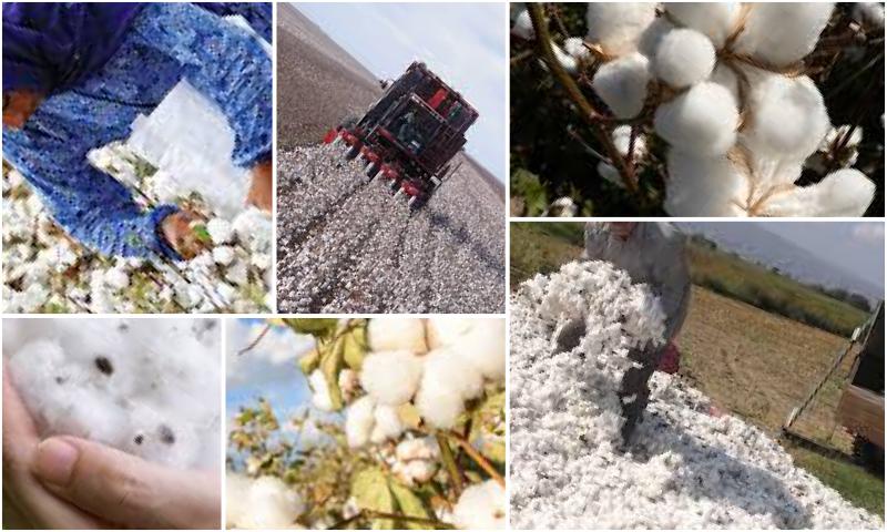 Pamuk Yetiştiriciliği ve Tohum Üretimi