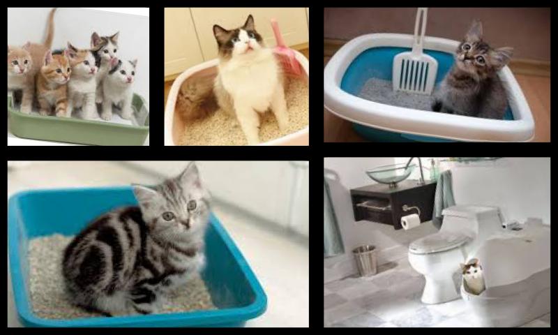 Kedilerin Tuvalet Eğitimi Nasıl Verilir? Kedi Kumu Nasıl Düzenlenir?
